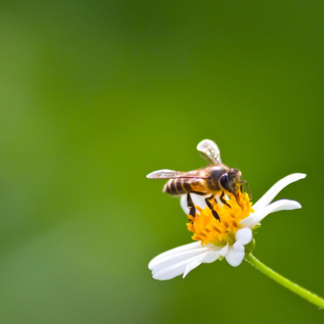 Bees of Britain on daisy