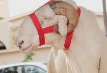 Un mouton de 3 millions offert à Pape Diouf !