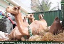 MAGAL-2018 : Le Président de la Mauritanie offre des chameaux au khalif général des Mourides