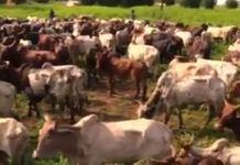 (Vidéo) Magal 2018 – Des milliers de bœufs de Cheikh Béthio acheminés vers touba !