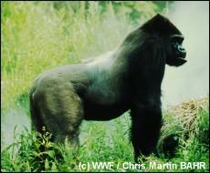 Oostelijke laaglandgorilla