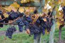 Hooked on Okanagan Ice Wines