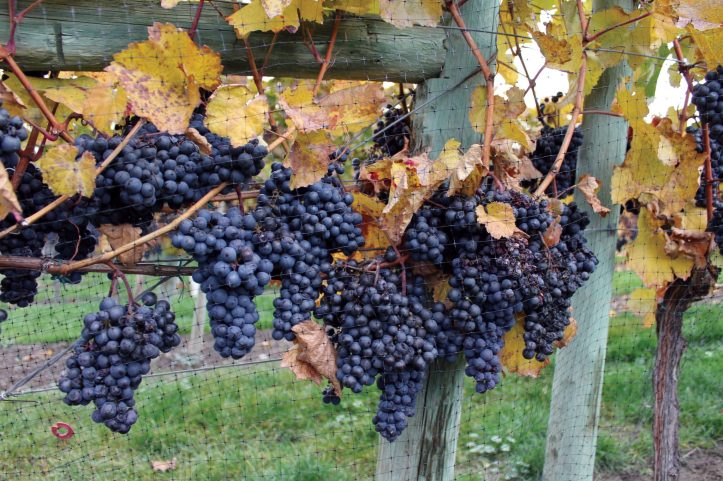 Zweigelt icewine grapes ripe for the picking.