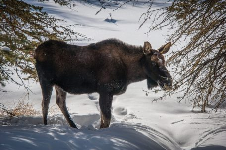 Moose on East Inlet Trail,Rocky Mountain National Park - credit John Poimiroo
