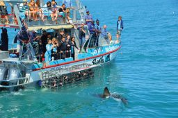 For the brave at heart there are shark cage cruises.