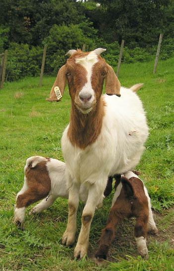 https://i0.wp.com/www.senorcafe.com/archives/goat.jpg
