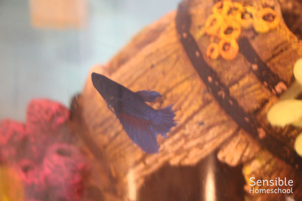 Blue beta fish in tank with barrel decoration