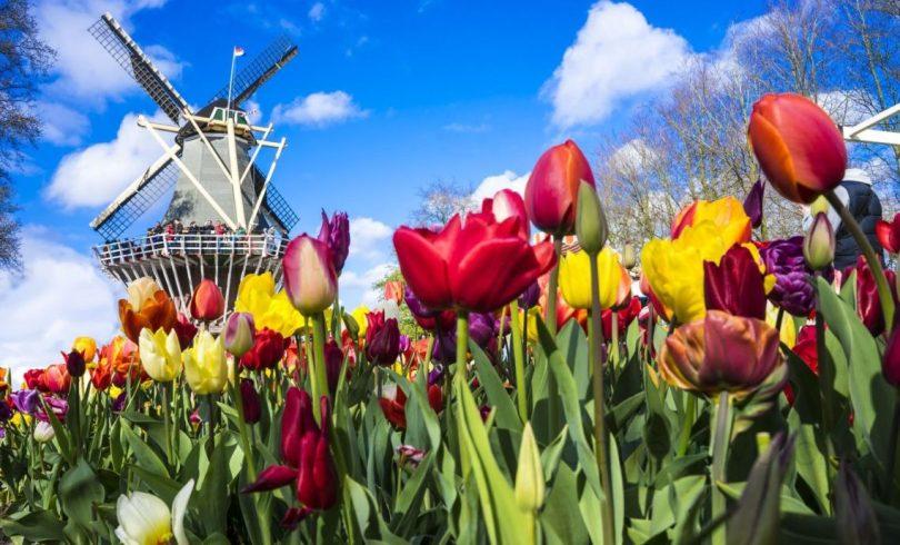 fioritura- tulipani-Olanda-