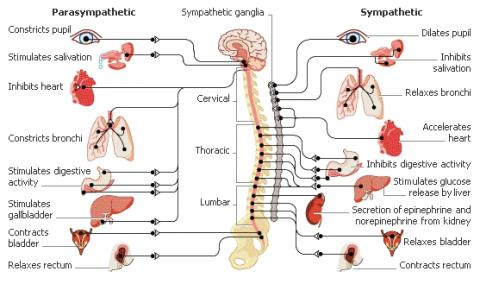 vagus nerve diagram doorbell installation the core piece of autism puzzle part 1 what is this and why it important