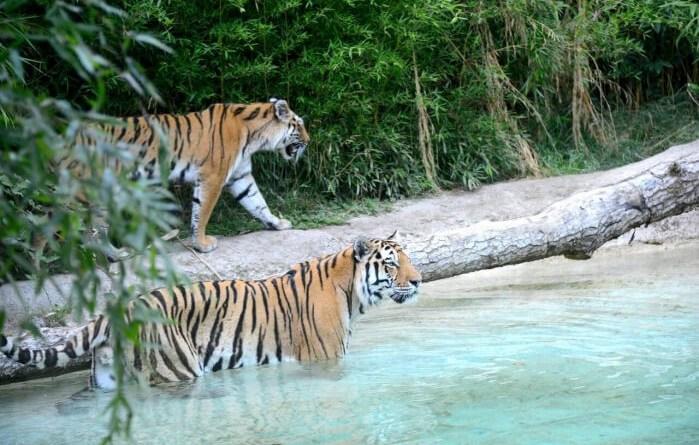 È la più grande delle nove sottospecie di tigre (di cui 3 già dichiarate estinte) e sopravvive con 450 esemplari nell'Estremo Oriente Russo, ai confini che toccano la Mongolia, la Cina, la Corea e il Mar del Giappone.