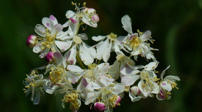 """Studio del Regina Elena valuta la potenziale efficacia degli estratti di un fiore nel trattamento di una neoplasia. Ciliberto: """"Bene utilizzare componenti naturali ma solo dopo validazione con rigorosi test scientifici"""""""