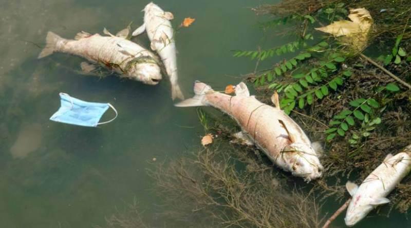 Mgliaia di pesci morti nel Tevere, la causa è in via di accertamento. Torna prepotente l'esigenza di un ufficio dedicato al controllo del fiume. Ma che non sia solo l'ennesimo ente da interpellare.