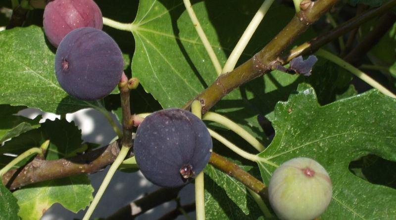 Utilizzato da secoli in ambito alimentare, i fichi sono tra i frutti più amati ed apprezzati in campo alimentare. Scopriamo proprietà e qualche segreto.