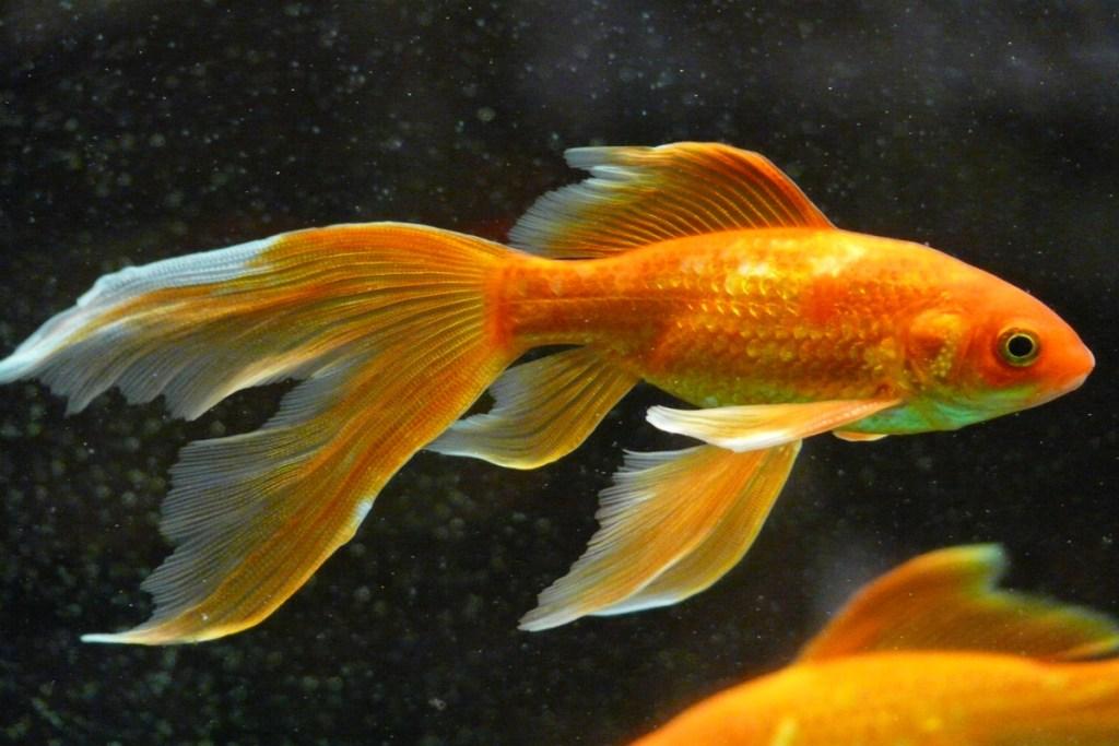 Menschen haben die Aufmerksamkeitsspanne von Goldfischen
