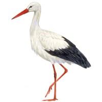 [Pájaros Urbanos] - La Cigüeña Blanca