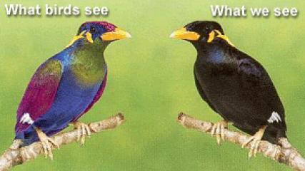 Como verA�amos a esta ave (izquierda) y como la verA�a un ejemplar de su especie (derecha)