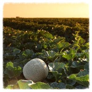 Cantaloupe_Field