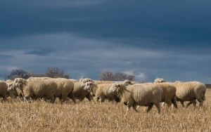Colorado-Lamb