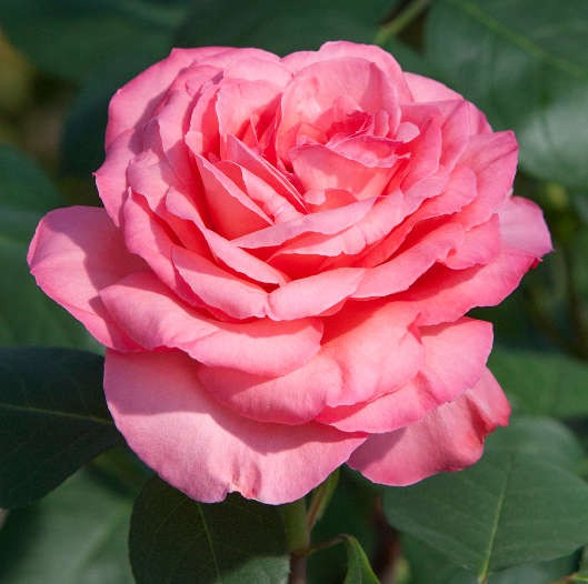 rosa meilland panthere rose