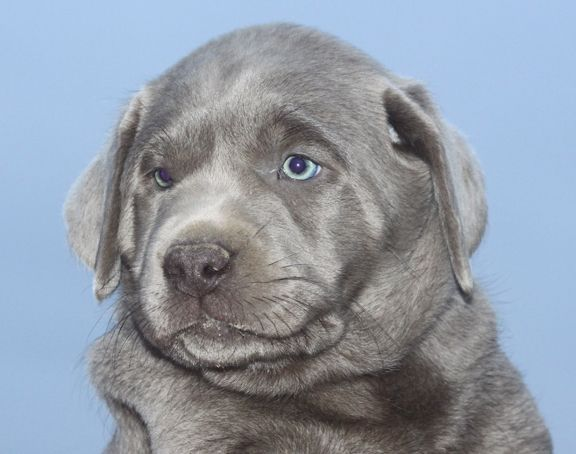 Labrador Puppies for Sale  Silver Labs for Sale  Dog