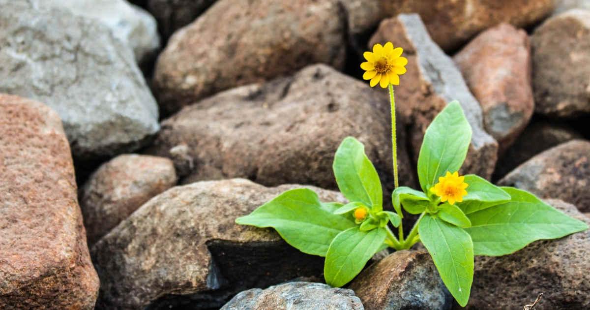 Fiore giallo cresciuto fra le pietre