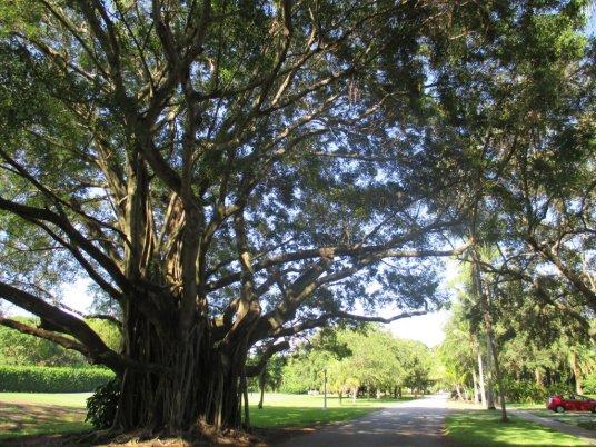 Un arbre typique de la Floride Coral Gables