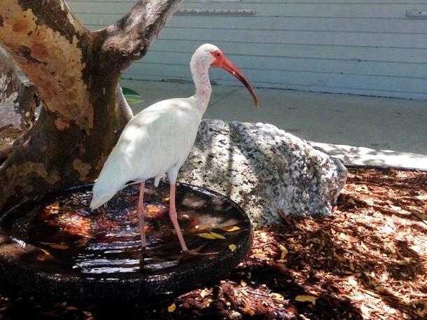 Keys Ibis Blanc