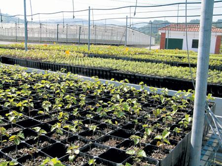 Gestión Del Cultivo De Planta Forestal En Contenedor Con