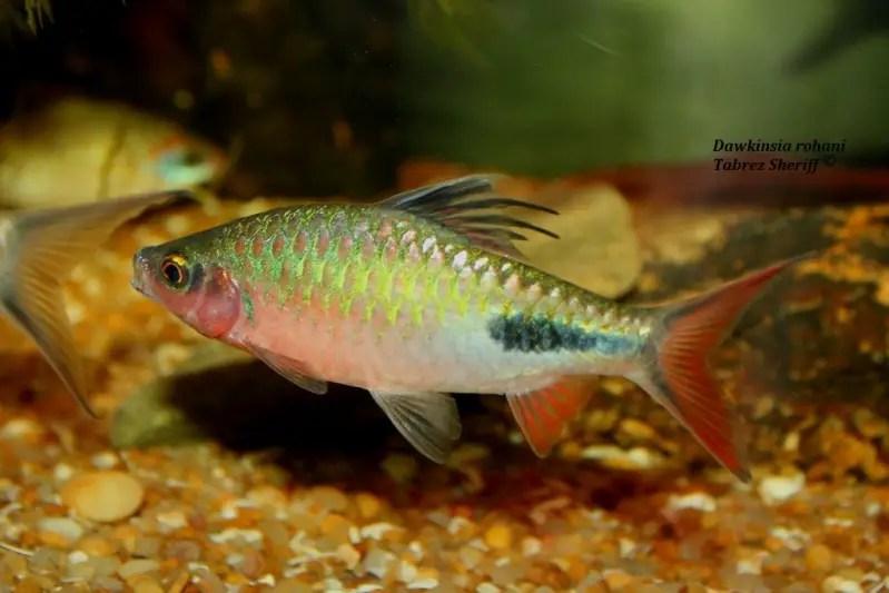 Dawkinsia rohani Puntius rohani  Seriously Fish