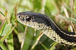 serpiente liga