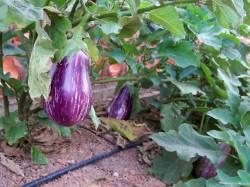 aubergines-jardin