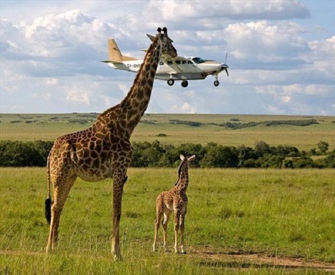 Jerapah Makan Pesawat