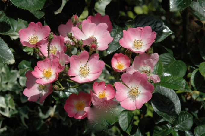 Tanaman hias Ballerina Roses