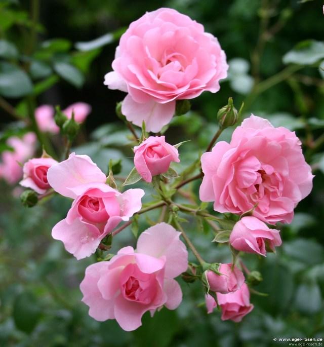 Tanaman hias bunga mawar bonica roses
