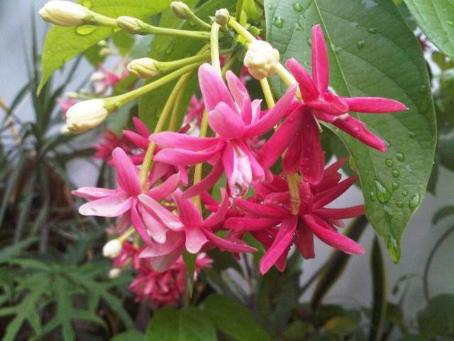 Tanaman hias bunga melati belanda