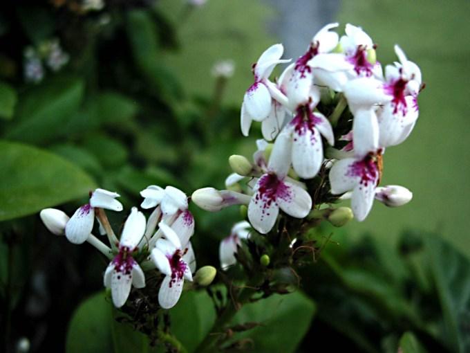Tanaman hias bunga melati Jepang