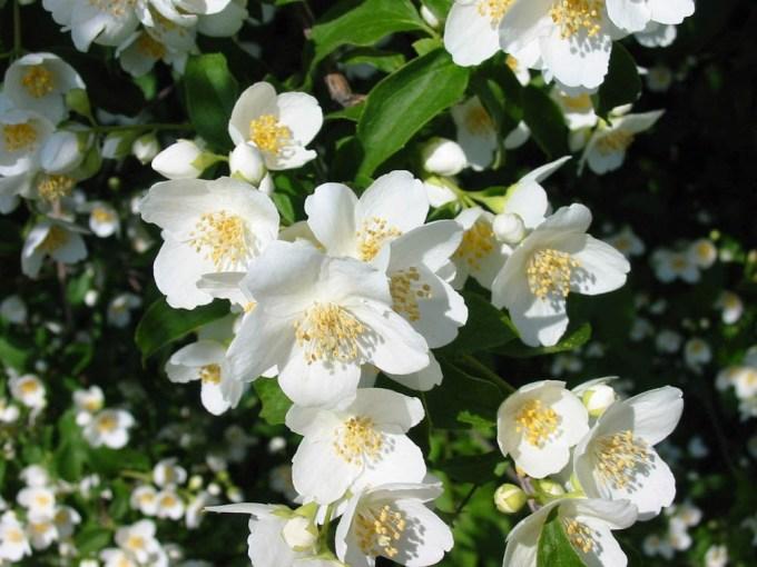 Tanaman hias bunga melati