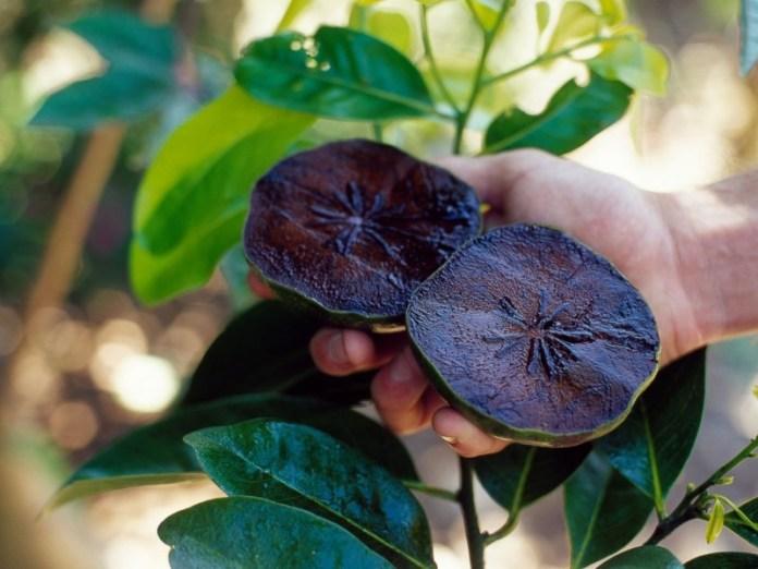 jenis buah dengan rasa unik yang satu ini bernama black sapote. gambar via: Info Gila