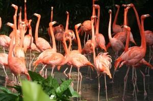 Flamingo menari di Jurong Birds Park ok