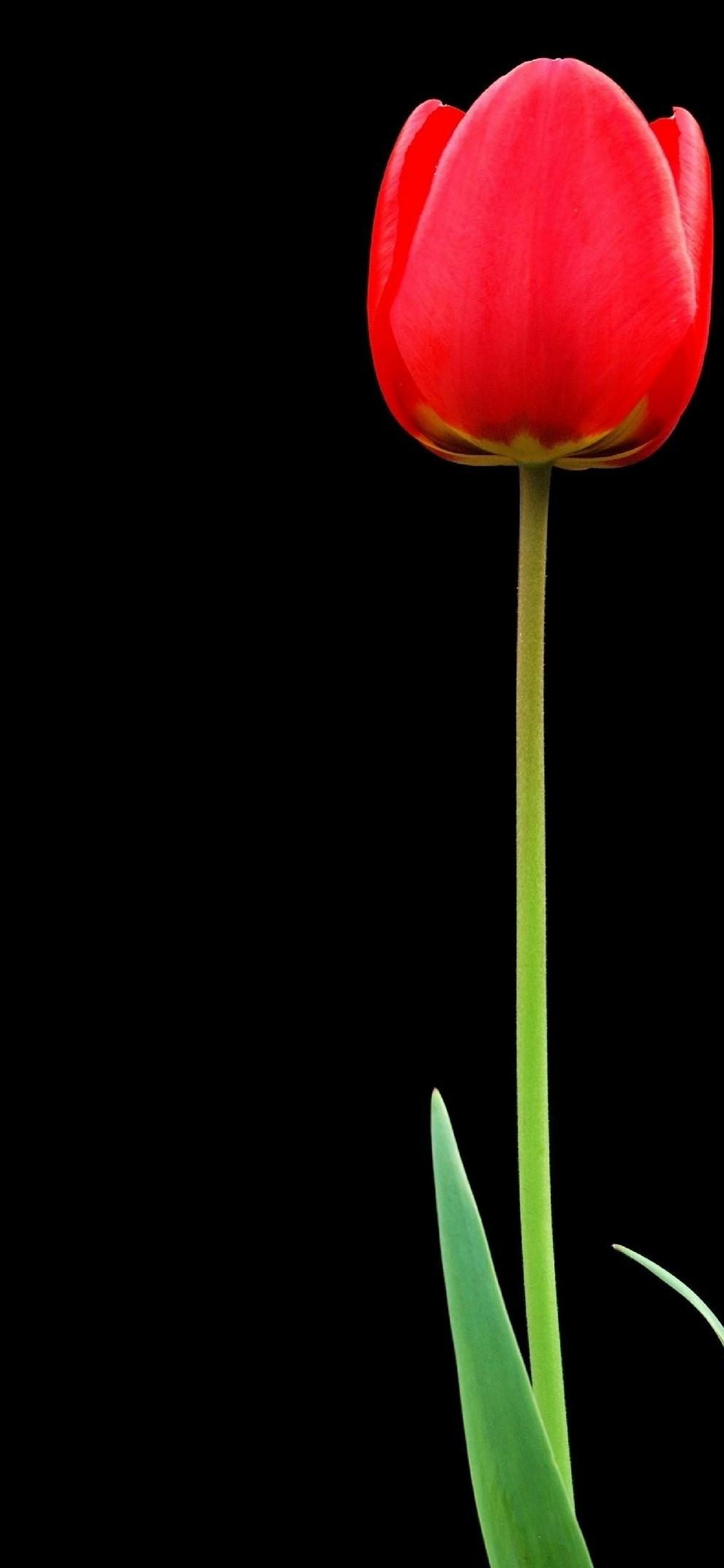 Superhero Wallpaper Iphone X Tulip Red Flower Hd Wallpaper 1125x2436