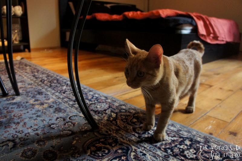 blog voyage canada montreal pvt chat roux amy petit mignon
