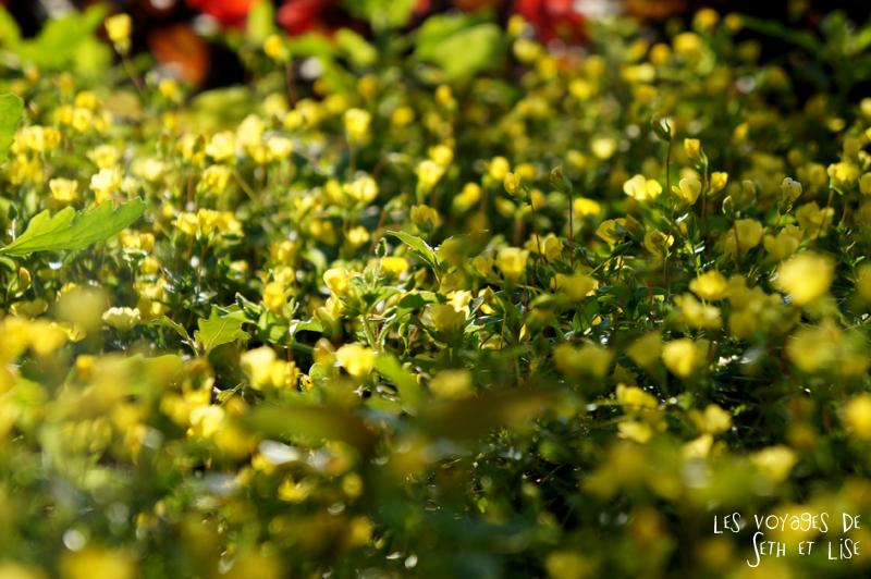 blog canada montreal pvt couple voyage tour monde photo insolite fleur jolie jaune couleur nature
