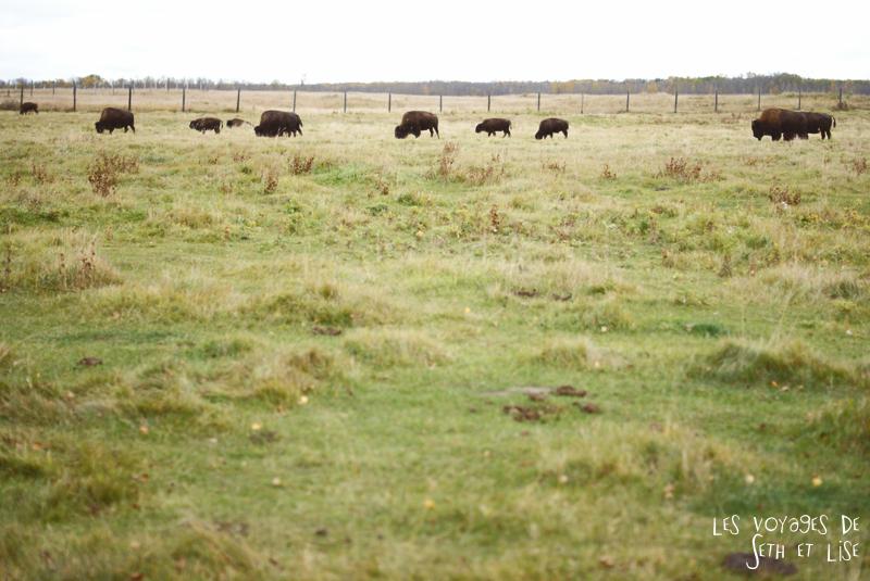 blog voyage canada pvt photo elk island alberta bison