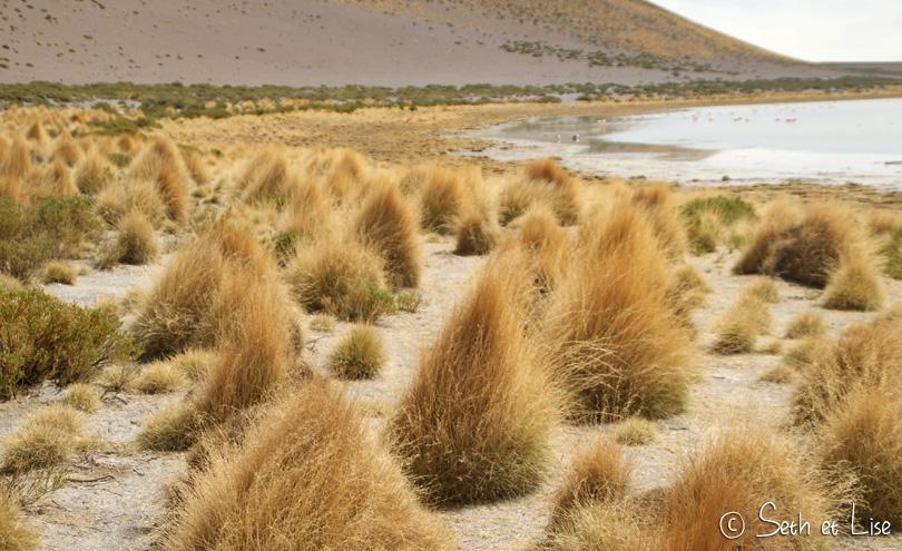 Paja brava, petits buissons en forme de queue de lapin