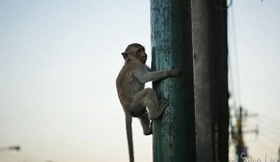 singes lopburi monkey