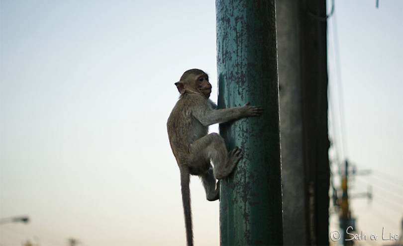 singes lopburi monkey
