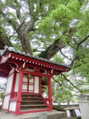 Zentsuji - Sacred Tree - Saeki Sobyo