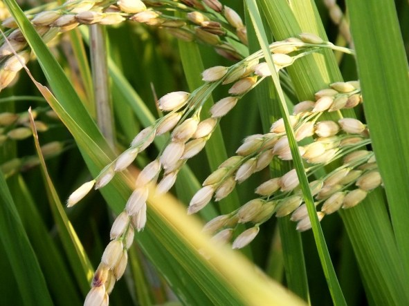 Ripening Rice 1