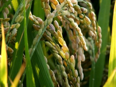Ripening Rice 11