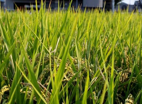 Ripening Rice 7